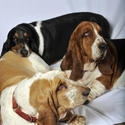 Buck Showalter's basset hounds