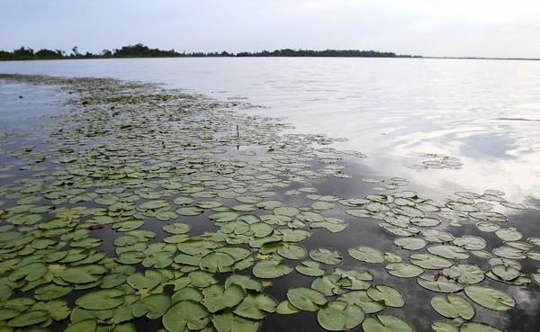 "Native lily pads and eelgrass are bright spots in <a class=""taxInlineTagLink"" id=""PLTRA0000126"" title=""Lake Apopka"" href=""/topic/environmental-issues/bodies-of-water/lakes-ponds/lake-apopka-PLTRA0000126.topic"">Lake Apopka</a>, where pollution has been rampant for decades."