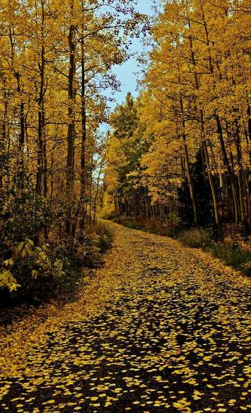 A golden path winds through aspens in the Maroon Lake area in Colorado, which bursts with color in fall.