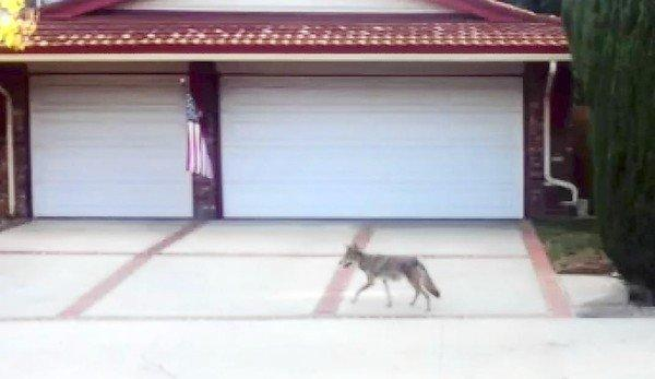 A coyote trots along Los Alimos Avenue in Northridge, across the street from Beckford Avenue Elementary School. The public's perspective on coyotes has begun to evolve.