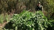 Modesto Police Department's drug task force is working at removing hundreds of pot plants found along the San Joaquin River.
