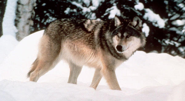 Wolf in Wyoming