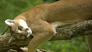 A cougar may have been sighted near the Skokie River in Winnetka,following similar reports earlier this summer on the North Shore, police say.