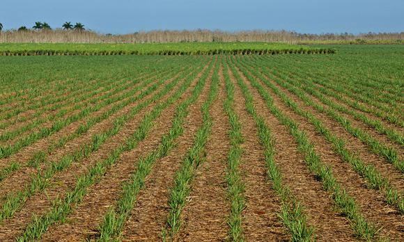 View of a sugar cane sown field