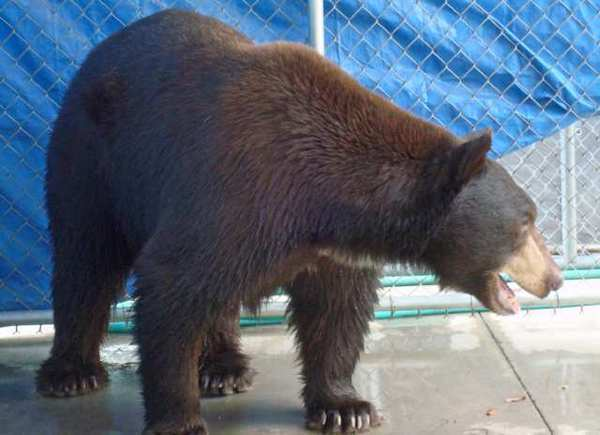 The famous Glendale bear readjusts in an enclosure after being captured in La Canada Flintridge on Wednesday, Aug. 29.