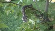 UPDATE: Missing 8 foot python found in Roanoke
