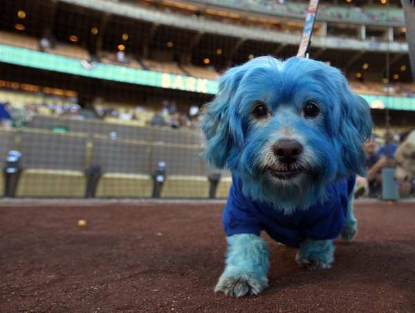 A Dodger blue-colored dog makes his way around the field at the Dodgers-Diamondbacks game at Dodger Stadium.