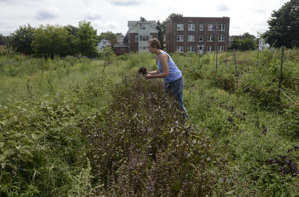 Emma Petersen  of New Britain's Urban Oaks Organic Farm in New Britain, growers of organic, heirloom and specialty crops, picks basil at the farm Thursday afternoon.