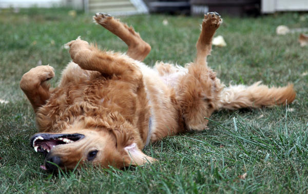 Becky Fjelstads golden retriever, Charlie, rolls in the grass. Charlie has returned to good health after beating cancer. A three-pound lump was removed and he underwent radiation and chemotherapy treatments.