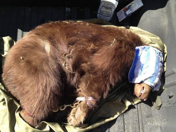 A bear that was tranquilized after wandering in Montrose lies in the back of a game warden's pickup truck. Credit: Frank Shyong / Los Angeles Times