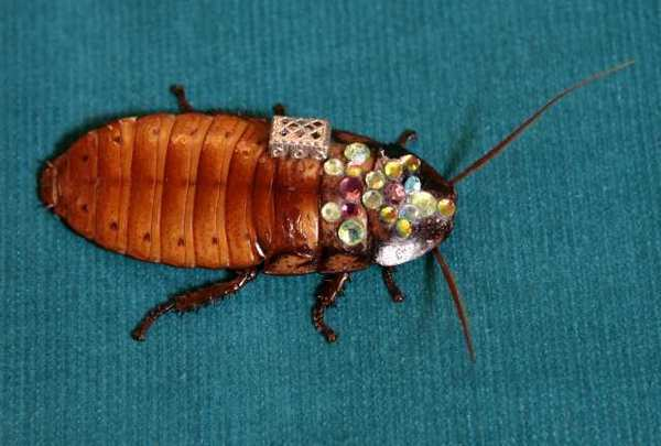 "Not just a pretty brooch: This live, jewel-bedecked Madagascar hissing cockroach may be a mere piece of jewelry, but other roaches, outfitted with computer-chip backpacks, may one day serve as search-and-rescue ""biobots."""