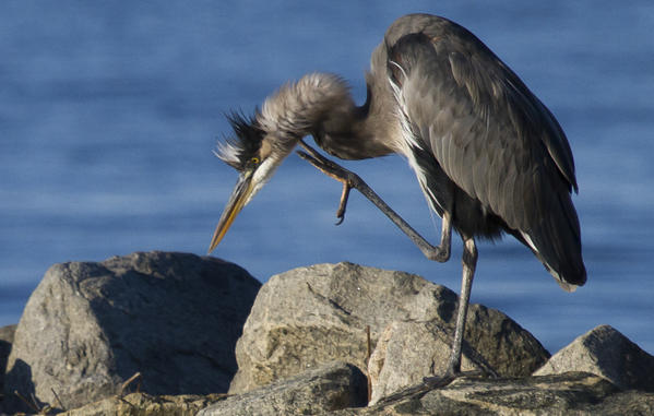 A great blue heron stretches to scratch an itch while resting a jetty on the James River early Wednesday.