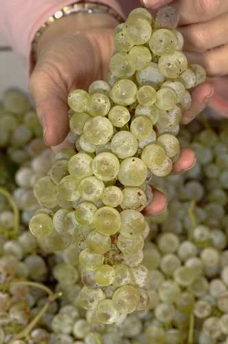 Chasselas Dore grapes grown by Jeffrey Rieger in Penryn.