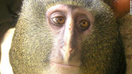 Scientists are claiming they have discovered a new species of monkey living in the remote forests of the Democratic Republic of Congo -- an animal well-known to local hunters but until now, unknown to the outside world.