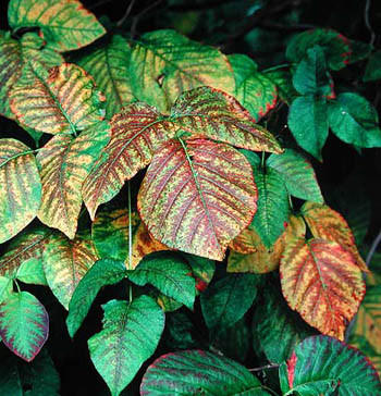 Poison ivy turns pretty colors in fall but it's dangerous to your skin any time of year.