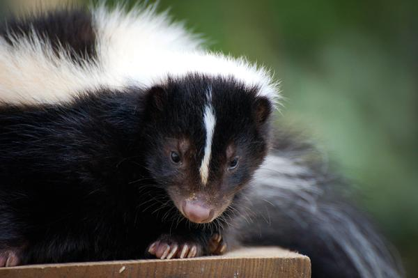 Skunks are more visible in Northern Michigan this time of year, leading to more frequent run-ins with area residents and their pets.