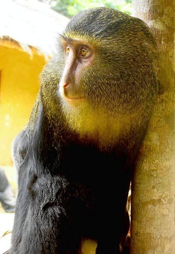 The second new monkey species discovered in 28 years was found in central Africa. Florida Atlantic University Assistant Professor of Anthropology Kate Detwiler worked on the team that did the genetic analysis that established it was a distinct species.