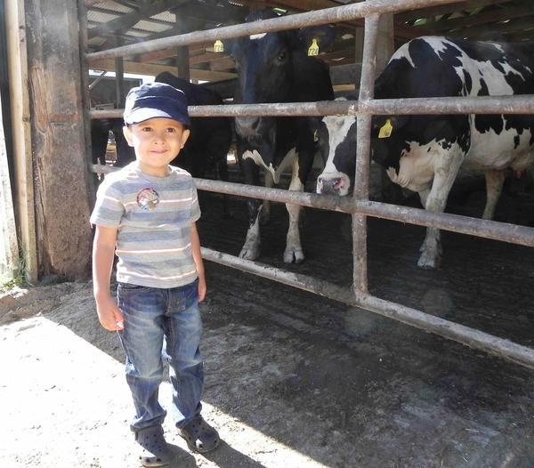 Three-year-old Nolan Diehl of Shippensburg, Pa., tries to make friends with some hesitant Holsteins at Cedar Pine Farms during Franklin County Fall Farm Fun Fest on Saturday.