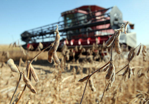 Soybean pods wait to be harvested as Andrew Davis drives a combine to a waiting truck to dump a load of soybeans in a field southeast of Bath owned by David Stahl on Friday.