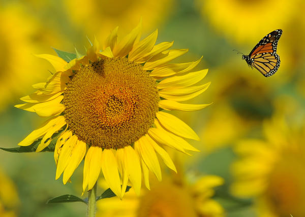 A Monarch butterfly is pictured in the sunflower field.