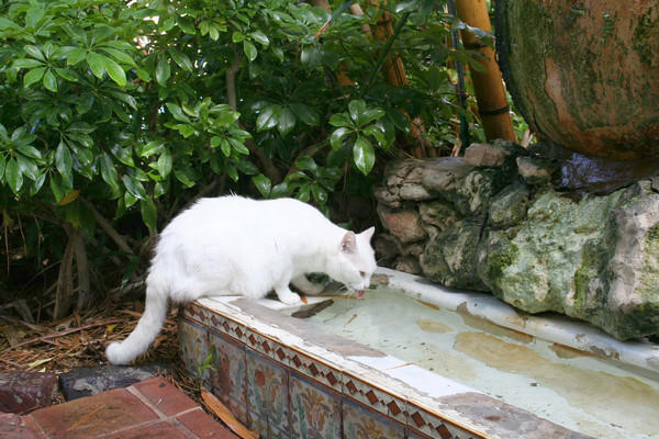 Spencer Tracy drinks from the cat fountain, a urinal the Pultizer Prize-winning author dragged home from his favorite Key West saloon in the 1930s.
