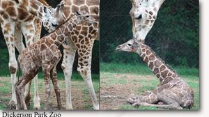 Dickerson Park Zoo's giraffe Cheka gives birth to calf