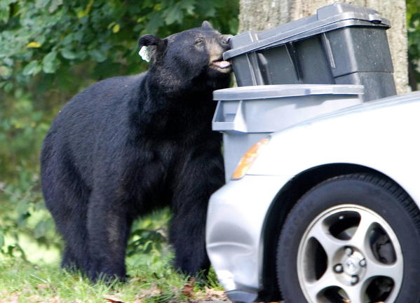 A bear that had been tranquilized and removed from a Waterbury neighborhood in July 2006 chews on a garbage container two months later in Wolcott. The 300-pound, male black bear is one of hundreds that are tagged and tracked by the DEEP.
