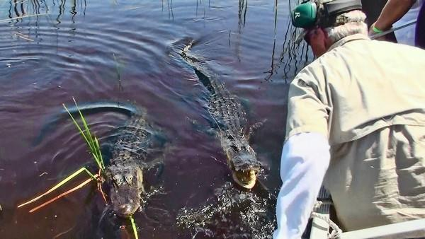 f.Airboat captain Robert Goss was videotaped by undercover wildlife officers posing as tourists as he fed dog biscuits to alligators and turtles in the Everglades of western Broward County. He has been charged with illegally feeding alligators.. One of a series of photos from a Florida Fish and Wildlife Conservation Commission investigation on Airboat Tour Operator, Robert Goss feeding alligators during a guided tour. Both alligators looking for food as Capt. Goss removes a piece of paper that was dropped overboard. ..