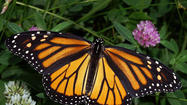 Norfolk Botanical Garden hosts its 3<sup>rd</sup> annual Monarch Butterfly Tag and Release event 10 a.m.-5 p.m. Saturday, Sept. 22. After an informational briefing at the Butterfly House, guests will have the chance to tag a Monarch butterfly and release it into the garden.