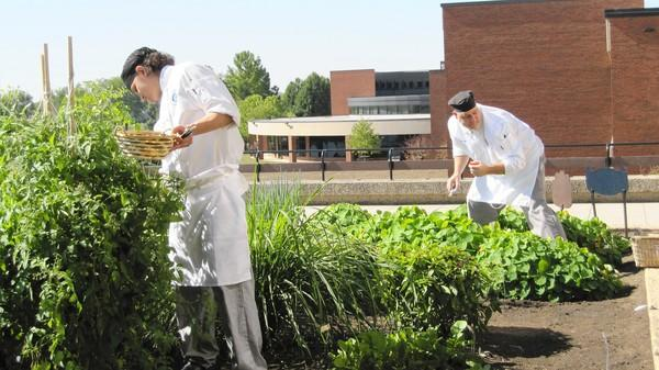 Students in Elgin Community College's culinary program pick produce in one of the school's two rooftop gardens. The gardens supply food for classes and the student-run restaurant Spartan Terrace.