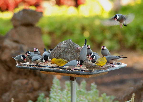 Java sparrows (gray), saffron finches (yellow) and a house sparrow (brown) at a bird feeder. Photo taken with a Nikon D80.