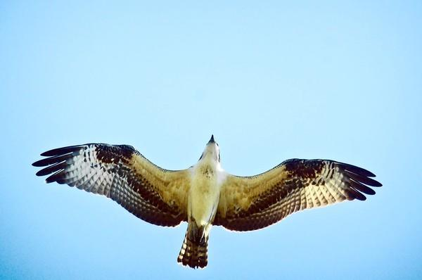 A migrating osprey heads south over Lighthouse Point Park in New Haven.