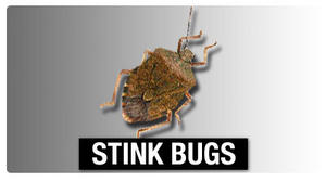 Va. Tech researchers take aim at stinkbugs