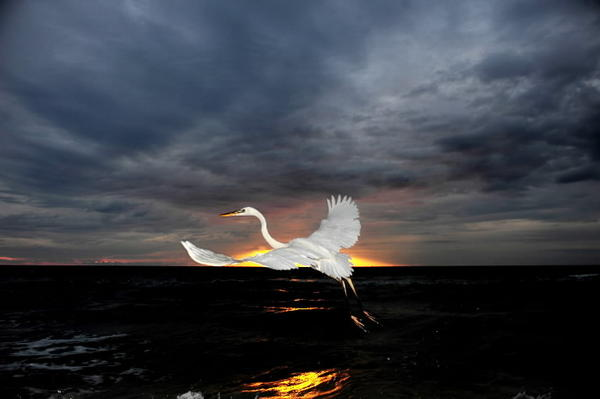 An egret takes flight at sunrise on Fort Lauderdale's beach.