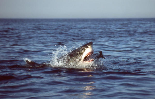 In this undated photo released by The University of Miami, a white shark is seen successfully lunging for and capturing a juvenile fur seal at the surface in False Bay, South Africa in 2004.