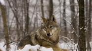 While wolf sightings in Northern Lower Michigan are rare, there have been scattered reports and trail camera videos over the last decade. The gray wolf, the species that once flourished here, was effectively eliminated for almost 80 years because of over-hunting and habitat destruction.