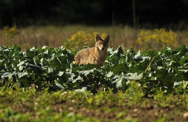 A coyote forages for some food in a field of cabbage at the intersection of Holcolmb and Barndoor Hills roads in Simsbury Monday morning.