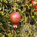Pomegranate bush