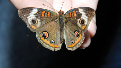 Mya McAllister holds a common buckeye butterfly on her fingertips.