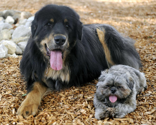 Baloo, a three year old Tibetan Mastiff and his brother Taz, a one year old shih tzu enjoy the shade during a trial run where local dogs make sure the park is puppy-friendly at Crescenta Valley Dog Park  on Saturday, Sept. 22, 2012 in La Crescenta Calif.