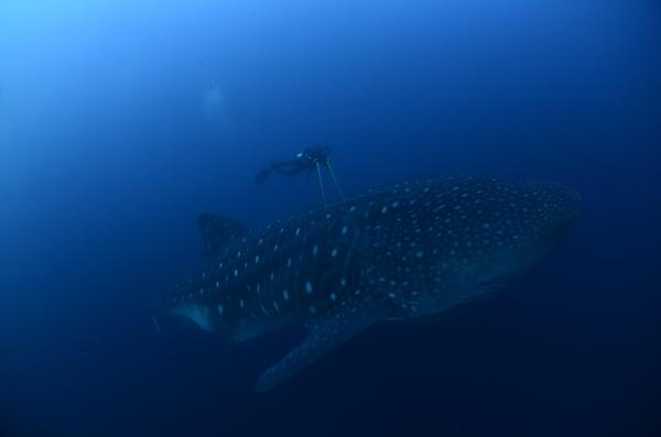 A whale shark is seen in the Galapagos Islands in this September 10, 2012 picture released to Reuters September 26, 2012. Galapagos National Park, Charles Darwin Foundation (CDF) and the University of California - Davis, made satellite tagging of whale sharks in order to understand  this species locally, regionally and globally  in the migration process patterns. MANDATORY CREDIT.