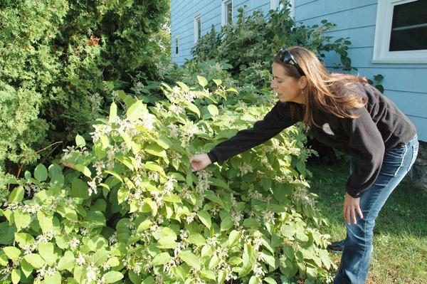 Jackie Pilette, wetland specialist for the Little Traverse Bay Bands of Odawa Indians, shows a stand of invasive Japanese knotweed growing between two houses in Petoskey.
