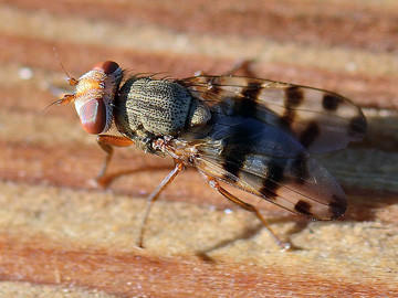 Picture-winged flies, like the one above, have started sneaking into Aberdeen-area homes.