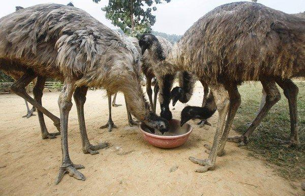 Emus chow down at a farm east of Gauhati, India. The flightless birds consume 3 pounds of expensive feed a day.
