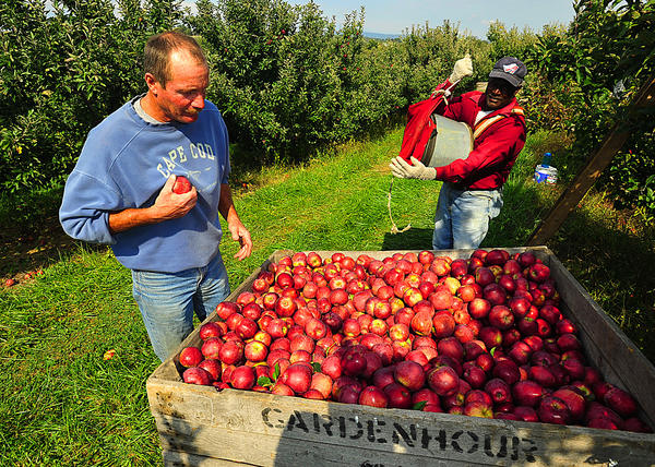 Bill Gardenhour, left, inspects some of the apples that picker Milonet Lochard unloaded Wednesday into a bin. The orchard near Smithsburg produced an above-average crop.