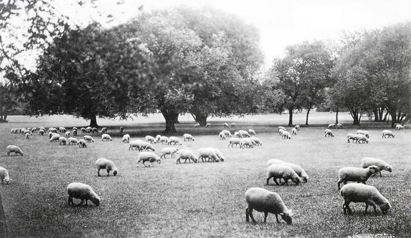 Using animals in urban spaces is nothing new. Here, sheep graze in Washington Park in Chicago around 1910.