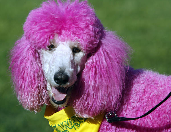 Close up of pink Standard poodle Annabelle at the Pasadena Humane Society & SPCA's 14th Annual Wiggle Waggle Walk at Brookside Park and around the Rose Bowl in Pasadena on Sunday, Sept. 30, 2012.