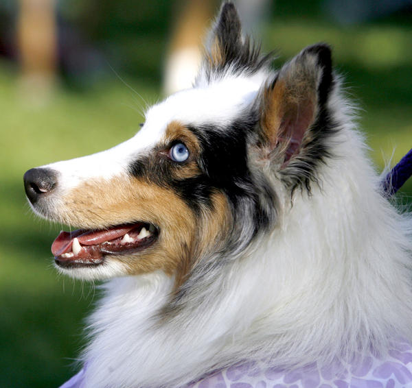 "Seven-month old blue-eyed Shetland Sheepdog ""Blue"" came with her owners Heidi and Scott Rasmussen of So. Pasadena to the Pasadena Humane Society & SPCA's 14th Annual Wiggle Waggle Walk at Brookside Park and around the Rose Bowl in Pasadena on Sunday, Sept. 30, 2012."