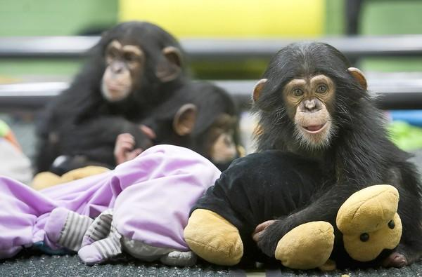 Chimpanzee babies huddle at the chimpanzee nursery of the University of Louisiana at Lafayette's New Iberia Research Center. The center uses chimpanzees for research on Hepatitis C and other work. New proposals would curb the use of chimpanzees in medical experiments.