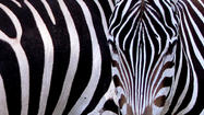 Pictures: Disney's Animal Kingdom new zebra herd